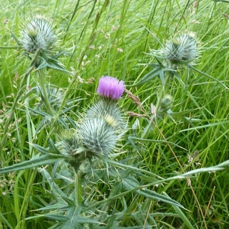 thistle-too-late